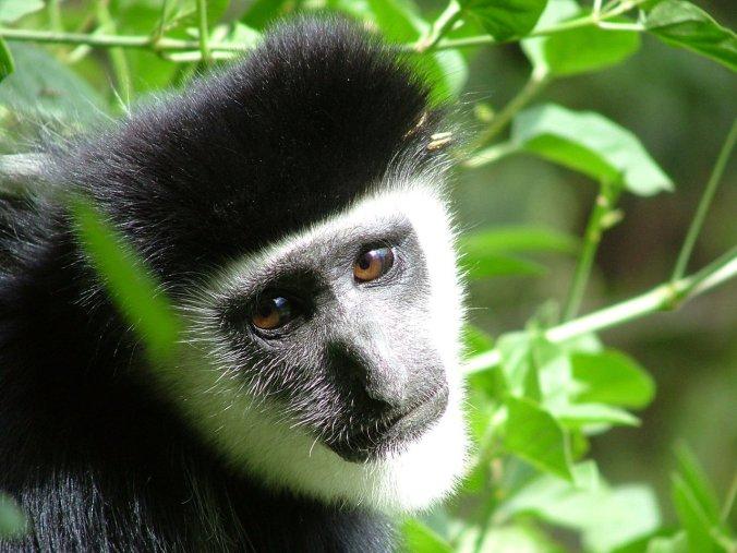 colobus-monkey-1471590-1280x960