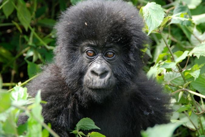 gorillas-in-the-mist-3-1360688-1279x858.jpg