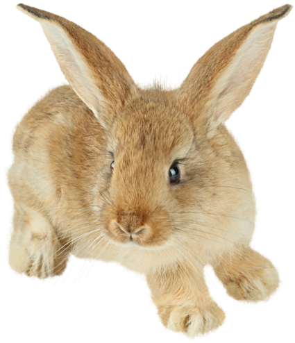 rabbit_PNG5638.png