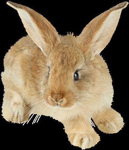 rabbit_PNG5638.png